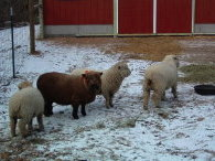 Babydoll Southdown Sheep in the Earthsong Orchard Farm Barnyard